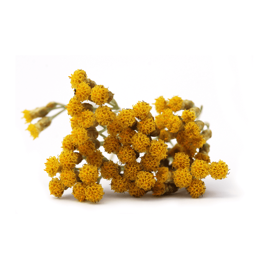 Corsican Helichrysum also known as Immortelle